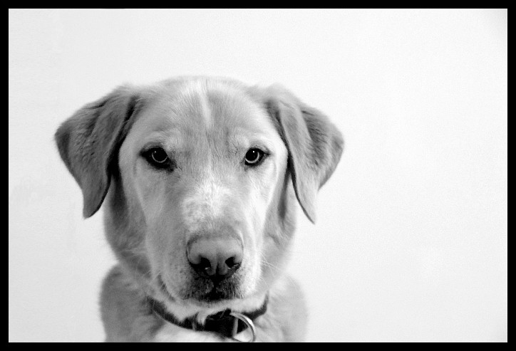 Black and white portrait of a medium-sized dog, looking at the camera in front of a blank wall